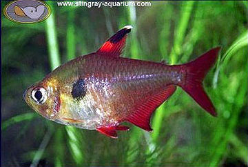 Red Phantom Tetra Red Minor Tetra Rainbow - Turquois
