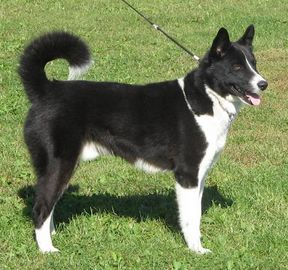 border collie karelian bear dog ovelheiro gaucho cumber